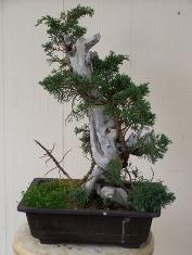 "Bonsai - ""Phoenix Graph"" -- Juniper on collected old Juniper wood"
