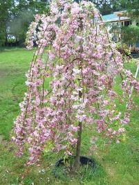 Pink Flowering Weeping Crabapple ( Malus Luisa)