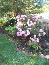 Large Pink Flowering Rhododendron